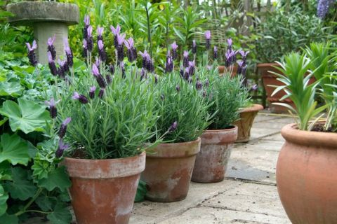 Blog post - Types of Lavender