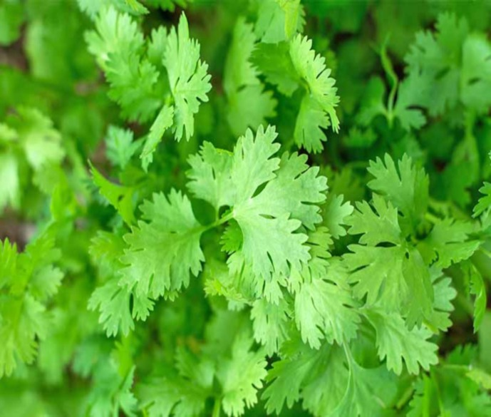 Coriander & Its Uses