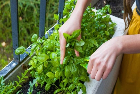 Blog Post - Easy herbs to grow - Basil