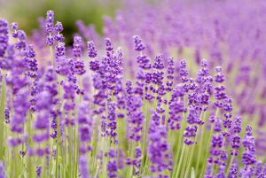 Lavender - Blog Post