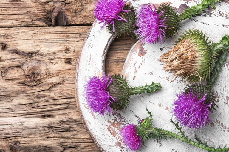 Common Medicinal Herbs - milk thistle flower