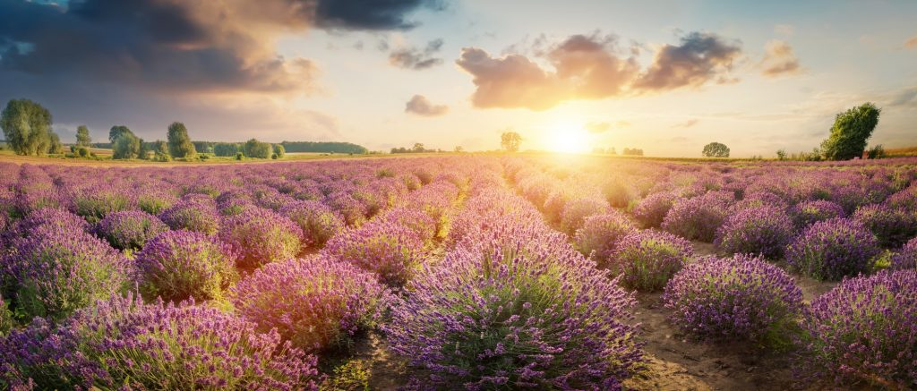 Common Medicinal Herbs - Lavender Field